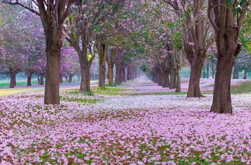 Fototapeta Pink trumpet tree flower blossom and falling on ground.