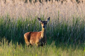 Obraz Samica jelenia Cervus elaphus je smaczny posiłek - fototapety do salonu