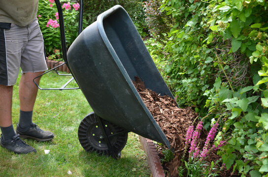 loading torture wood chips bark on a wheel with a shovel from a car and delivery to the garden where ornamental perennial beds are mulched by gardeners