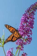 Orange monarch butterfly perched on purple butterfly bush in summer
