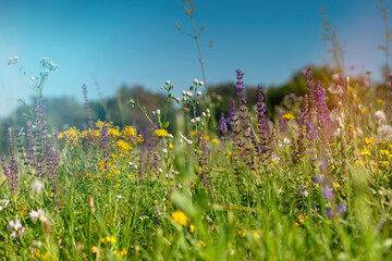 Wild flowers in the meadow with sun flares. Summer wildflowers in nature.