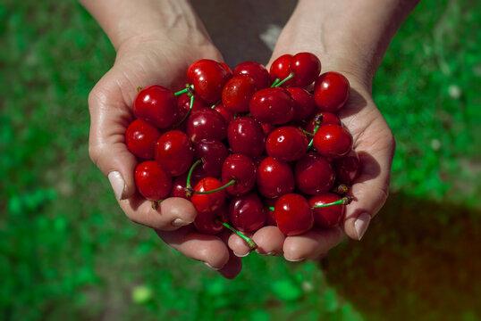 Fresh cherries in female hands, top view