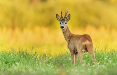 Roe deer buck( Capreolus capreolus )