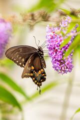 Swallowtail butterfly perched on purple butterfly bush flower in garden in summer
