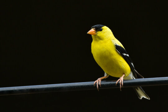 American Goldfinch Isolated on black background