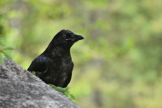 Crow or Raven perched behind rock