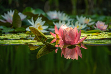 Magic big bright pink water lily or lotus flower Perry's Orange Sunset in pond on water lilies background. Nymphaea reflected in water. Flower landscape for nature wallpaper with copy space.