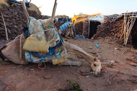 Camel lying down in Afar region, Ethiopia
