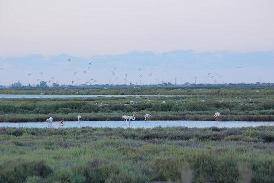 flamencos en humedal del delta del ebro