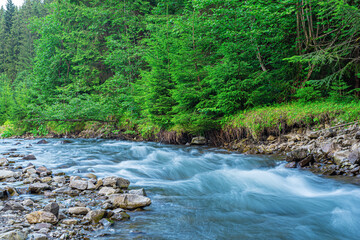 Mountain river on the background of a fir forest.