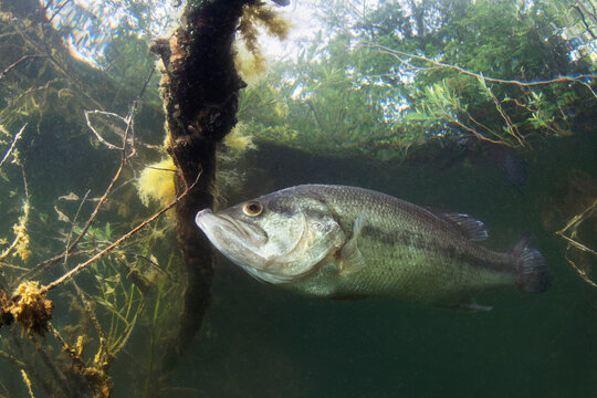 Underwater picture of a frash water fish Largemouth Bass (Micropterus salmoides) nature light. Live in the lake. Blackbass. Close up fish photography.