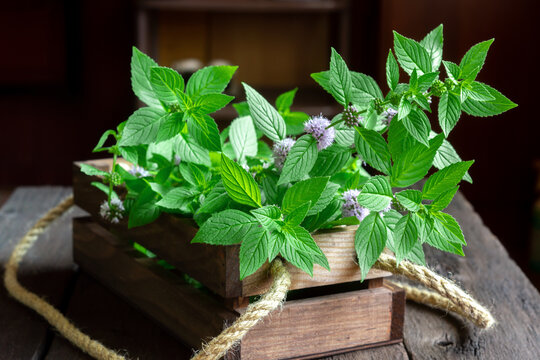 Freshly picked wild (corn, field ) mint in a wooden box. Fragrant harvest. Mentha arvensis