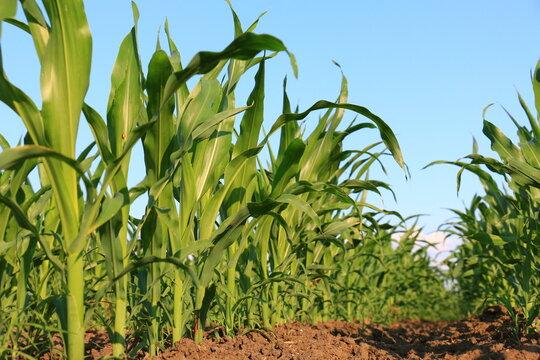 A huge corn field. Lots of green shoots of green corn