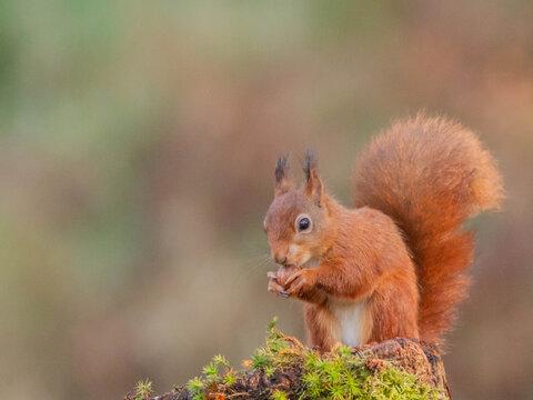 Red Squirrel (Sciurus vulgaris),Scotland