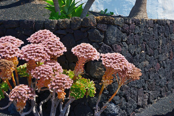 Flowering Sempervivum commonly known as houseleeks. Canary island, Spain