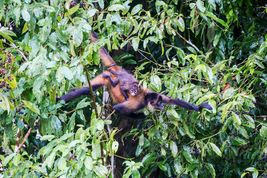 Female spider monkey with baby on the back in the tree tops in the rainforest, Costa Rica