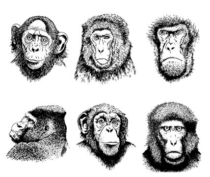 Graphical portaits of monkeys isolated on white background, vector illustration , elements for printing and tattoo