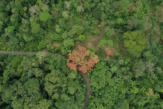 Bird eye view of a large ceibo tree the is flowering red alongside a small road in the tropical rainforest of South America