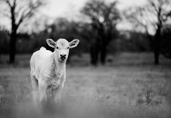Wall Mural - Charolais beef calf portrait in rustic farm field cute baby farm animal looking at camera in black and white.