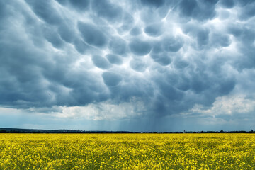 Yellow rape field on stormy sky with menacing mammatus clouds background. Climate change nature background