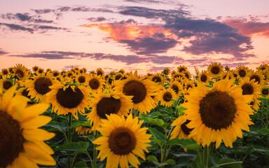 Fototapeta Sunflowers' field under sunset