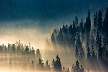 mist among the forest. spruce trees in the valley full of glowing fog. fantastic nature scenery in mountains at sunrise. view from above