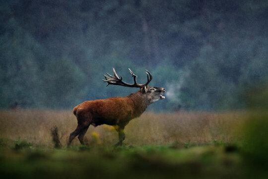 Red deer, rutting season, Hoge Veluwe, Netherlands. Deer stag, majestic powerful animal outside the wood, big animal in forest habitat. Wildlife scene, nature. Moorland, autumn animal behavior.