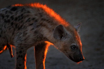 Hyena, evening sunset light. Hyena, detail sunset portrait. Spotted hyena, Crocuta crocuta, angry animal near the water hole, beautiful evening. Animal with penis, Okavango, Botswana