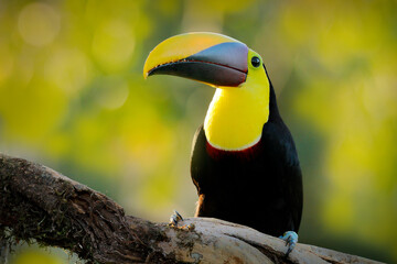 Wall Mural - Bird with big bill. Rainy season in America. Chestnut-mandibled toucan sitting on branch in tropical rain with green jungle background. Wildlife scene from tropic jungle. Animal in Costa Rica forest.