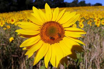 A sunflower is seen on a field, amid the coronavirus disease (COVID-19) outbreak, in Chorleywood