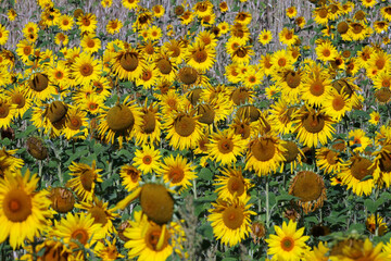 A field of sunflowers is seen, amid the coronavirus disease (COVID-19) outbreak, in Chorleywood