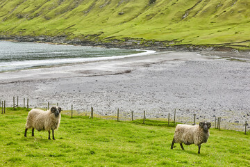Sheeps grazing on Faroe islands coastline. Green scenic landscape