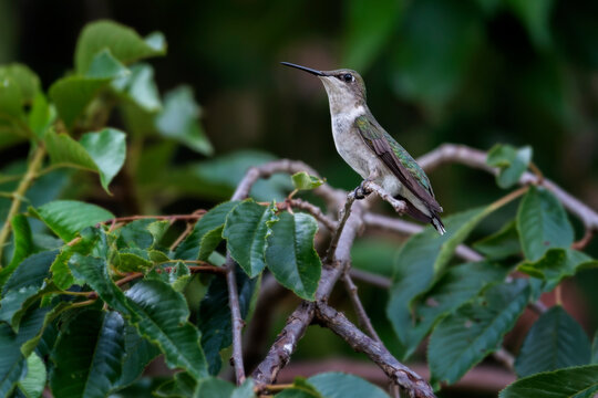 Profile of a female ruby-throated hummingbird perched on a branch in West Hartford Connecticut