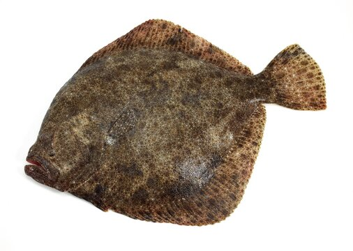 FRESH TURBOT scophthalmus maximus AGAINST WHITE BACKGROUND