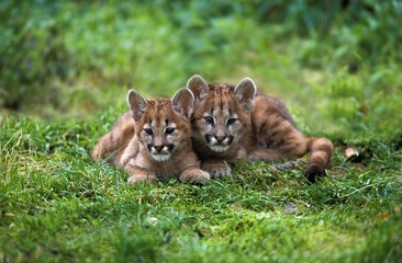 COUGAR puma concolor, CUB STANDING ON GRASS