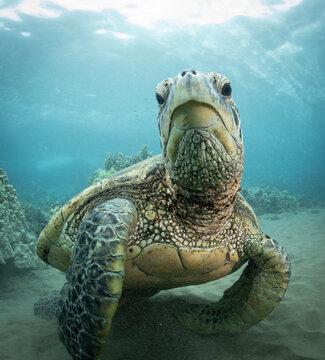 Green Sea turtle swimming over reef in Hawaii