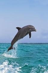 Bottlenose Dolphin, tursiops truncatus, Adult Leaping, Honduras