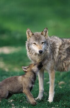 European Wolf, canis lupus, Mother with Pup