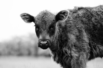 Wall Mural - Furry black Angus calf portrait close up looking at camera in black and white, baby cow on farm.