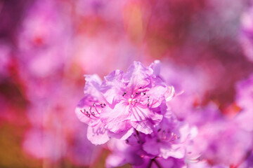 The beautiful Azalea flower scenery of spring field in the sunshine blurred backgound.