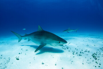 Tiger Shark (Galeocerdo cuvier) Swimming by Closely, with Caribbean Reef Shark in the Background. Tiger Beach, Bahamas