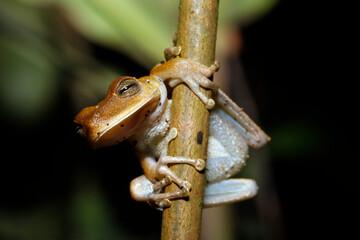 Tree Frog on Branch. Tambopata, Amazon Rainforest, Peru