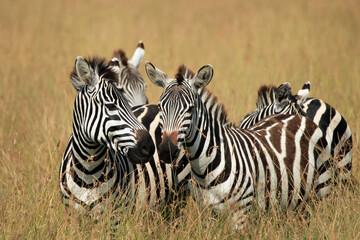 Plains Zebras (Equus quagga) in High Grass on Savannah. Maasai Mara, Kenya