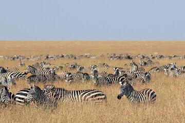 Herd of  Plains Zebras (Equus quagga) on Savannah. Maasai Mara, Kenya