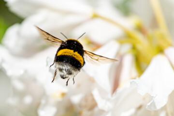 Obraz A cute bumblebee approaching a flower - fototapety do salonu