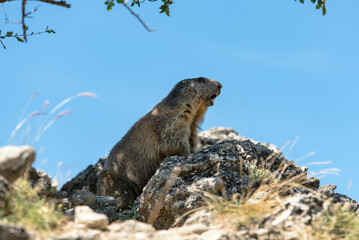 wild marmot screaming at the top of rocky hill in French Alps