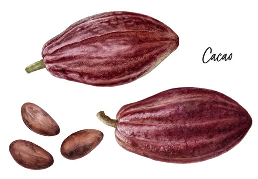Cacao fruit and cacao beans watercolor illustration isolated on white background
