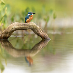 Wall Mural - Common Kingfisher perched on a branch with reflection showing in pond below and a green background.