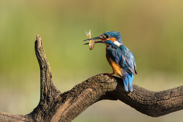 Wall Mural - Kingfisher perched on a branch with fish in beak with green background.
