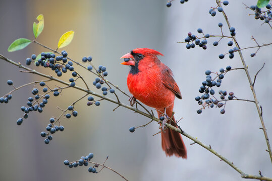 Male Northern Cardinal Eating Wild Berries in Louisiana Winter Time